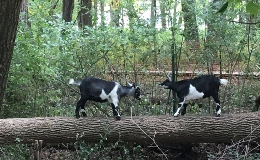 Goats are being used to clear invasive plants at 1000 Islands Environmental Center in Kaukauna. Mulberry Lane Farm photo
